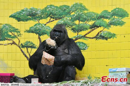 Tony the gorilla celebrates 45th birthday in Ukraine
