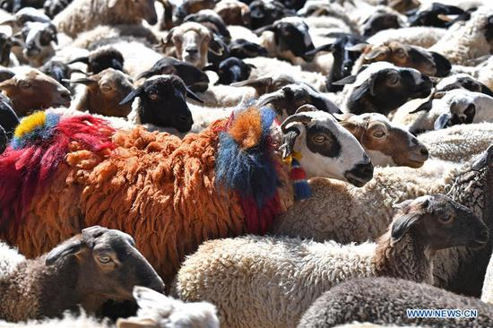Sheep show in China's Tibet
