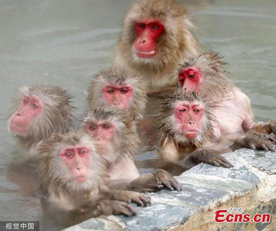 Japanese monkeys in Hokkaido garden relax in hot spring