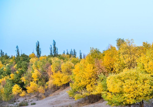 Autumn scenery of forest of populus euphratica in China's Gansu