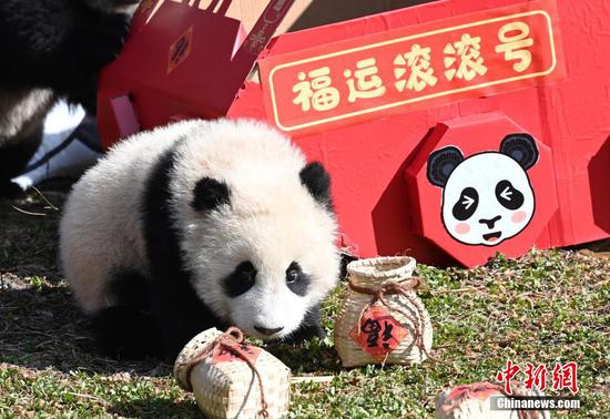 Giant panda cubs meet the public to mark start of spring
